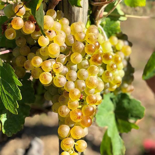 grappe-raisin-domaine-mucyn